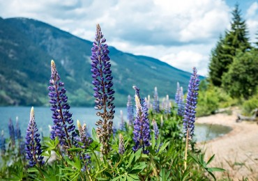strathcona-campbell-lake-lupins-xl.jpg