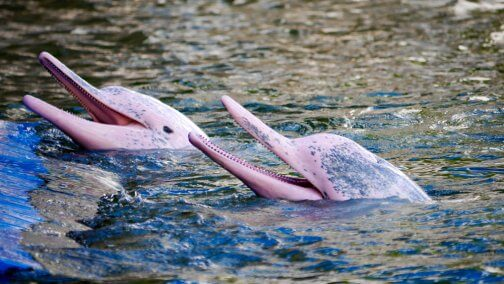 pink-dolphins-504x284.jpg