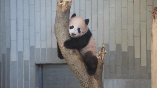 ueno-zoo-xiang-xiang-504x284.jpg