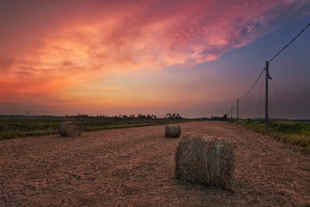 Sekinchan Paddy Fields Harvest Season Selangor Malaysia