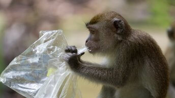 monkey eats plastic bag