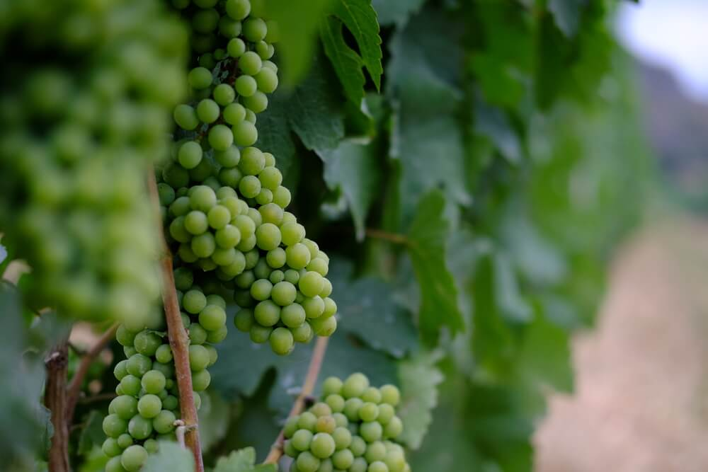 Granmonte grape khao yai