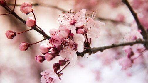 japan-cherry-blossoms-504x284.jpg