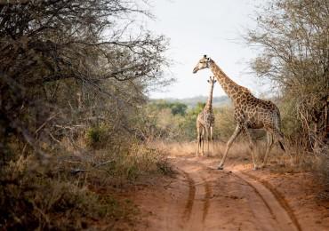 singita-pamushana-lodge-giraffes.jpg